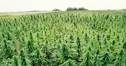 Hemp Consumes Radiation