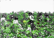 slaves in cannabis field